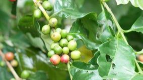 Chiuda su dei chicchi di caffè della ciliegia sul ramo della pianta del caffè prima della raccolta stock footage