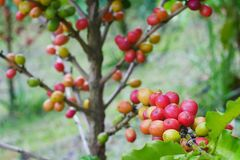 Chiuda su dei chicchi di caffè della ciliegia sul ramo della pianta del caffè prima della raccolta Fotografie Stock Libere da Diritti