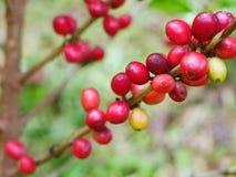 Chiuda su dei chicchi di caffè della ciliegia sul ramo della pianta del caffè prima della raccolta Fotografie Stock