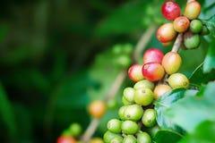 Chiuda su dei chicchi di caffè della ciliegia sul ramo della pianta del caffè prima della raccolta Immagine Stock