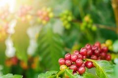 Chiuda su dei chicchi di caffè della ciliegia sul ramo della pianta del caffè prima della raccolta Fotografia Stock Libera da Diritti