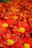 Chiuda in su dei crisantemi rossi Immagine Stock