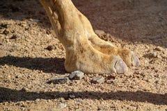 Chiuda su dei due piedi del cammello del dito che camminano nel deserto caldo immagine stock