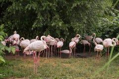 Chiuda su dei fenicotteri rosa fotografie stock libere da diritti