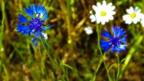 Chiuda su dei fiordalisi e delle margherite blu fotografia stock libera da diritti