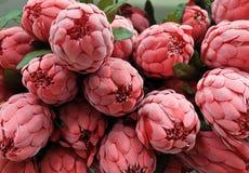 Chiuda su dei fiori artificiali rossi di Aristata del Protea Fotografie Stock