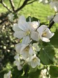 Chiuda in su dei fiori bianchi Fotografie Stock Libere da Diritti