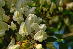 Chiuda su dei fiori bianchi della locusta nera fotografia stock