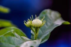 Chiuda su dei fiori bianchi di justmin sull'albero nel giardino alla Tailandia fotografia stock libera da diritti