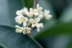 Chiuda su dei fiori bianchi di osmanto Fotografie Stock