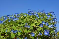 Chiuda su dei fiori blu di ipomea sbocciano in luccio ornamentale Fotografia Stock