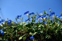 Chiuda su dei fiori blu di ipomea sbocciano in ornamentale, Tailandia Immagini Stock