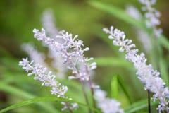 Chiuda su dei fiori del Liriope Fotografie Stock