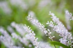 Chiuda su dei fiori del Liriope Fotografie Stock Libere da Diritti