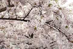 Chiuda su dei fiori dell'albero di sakura Ciliegio in fiori fotografia stock libera da diritti