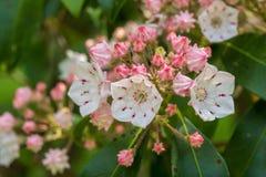 Chiuda su dei fiori dell'alloro di montagna Fotografia Stock