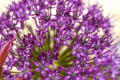 Chiuda su dei fiori della cipolla del fiore in giardino, ora legale Fotografia Stock
