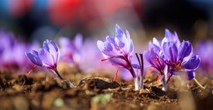 Chiuda su dei fiori dello zafferano in un campo all'autunno Immagini Stock