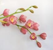Chiuda su dei fiori di Cattleya contro fondo bianco Fotografia Stock Libera da Diritti