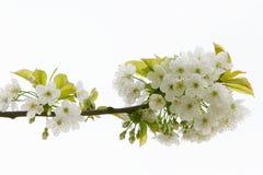 Chiuda in su dei fiori di melo Immagini Stock
