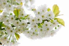 Chiuda in su dei fiori di melo Fotografie Stock