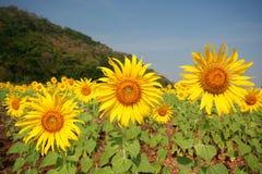 Chiuda in su dei fiori di Sun Fotografie Stock Libere da Diritti