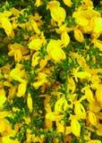 Chiuda su dei fiori gialli come fondo Fotografia Stock