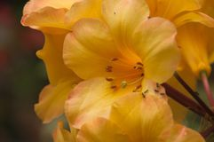 Chiuda su dei fiori gialli del rododendro di sig.na Moffy immagine stock libera da diritti