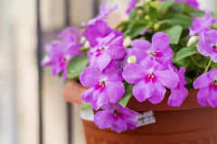 Chiuda su dei fiori ibridi rosa di impatiens della Nuova Guinea Immagini Stock