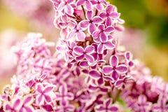 Chiuda in su dei fiori lilla fotografia stock libera da diritti