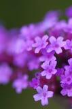 Chiuda su dei fiori minuscoli di Bonariensis della verbena Fotografie Stock