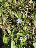 Chiuda su dei fiori porpora Fotografie Stock Libere da Diritti
