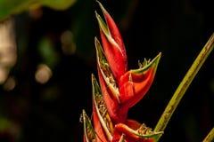 Chiuda su dei fiori rossi del becco immagini stock libere da diritti