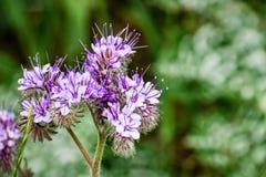 Chiuda su dei fiori selvaggi di cryptantha di Lacy Phacelia Phacelia, l'area di San Francisco Bay del sud, San José, la Californi fotografie stock