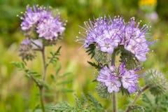 Chiuda su dei fiori selvaggi di cryptantha di Lacy Phacelia Phacelia, la California immagini stock libere da diritti