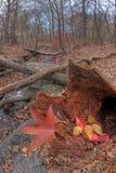 Chiuda in su dei fogli di autunno Fotografie Stock