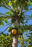 Chiuda su dei frutti della papaia sull'albero Fotografia Stock