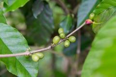Chiuda su dei frutti non maturi verdi del caffè sul ramo Fotografia Stock Libera da Diritti