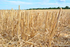 Chiuda su dei gambi raccolti del grano nel campo Fotografia Stock