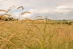 Chiuda su dei giacimenti di grano sotto il sole Fotografia Stock