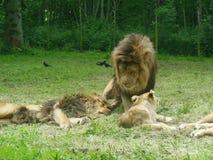 Chiuda su dei leoni Immagini Stock Libere da Diritti