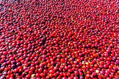Chiuda su dei mirtilli rossi maturi che galleggiano nella laguna durante il raccolto Immagini Stock Libere da Diritti