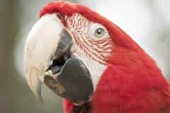 Chiuda su dei pappagalli fronte e becco dell'ara Fotografie Stock