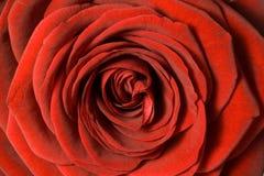 Chiuda in su dei petali di rosa rossi Immagini Stock Libere da Diritti