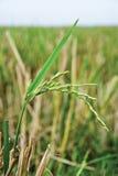Chiuda in su dei raccolti del riso Immagini Stock Libere da Diritti