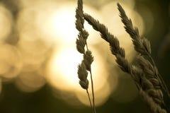Chiuda su dei raccolti su un campo nel tramonto Immagini Stock
