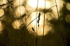 Chiuda su dei raccolti su un campo nel tramonto Immagine Stock Libera da Diritti