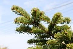 Chiuda su dei rami dell'albero di abete verde contro cielo blu fotografia stock
