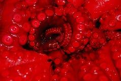 Chiuda in su dei tentacoli del polipo rosso Fotografie Stock