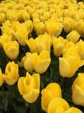 Chiuda su dei tulipani gialli Fotografia Stock